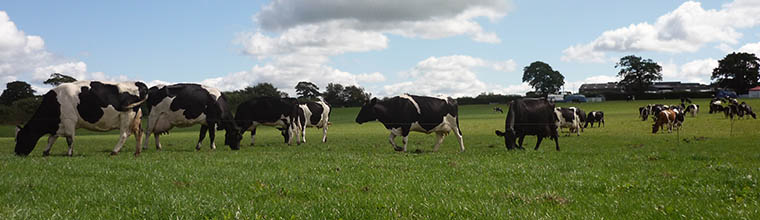 Fresian cows on West Middlewick